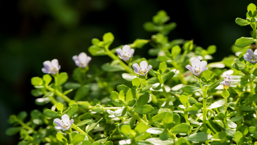Research: The Health Benefits of Bacopa Monnieri
