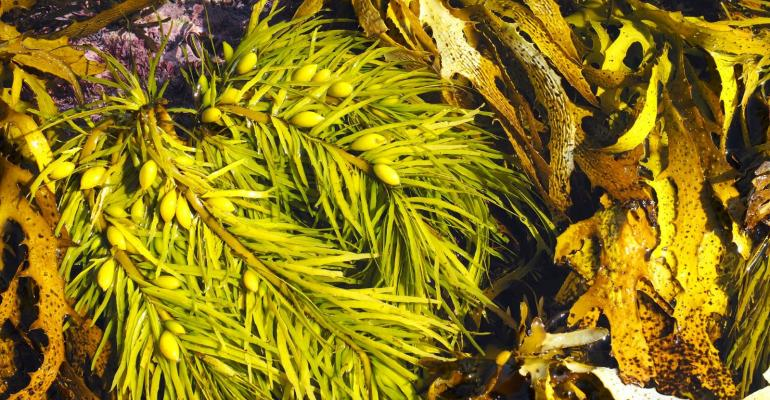 Seaweed from southern Australia