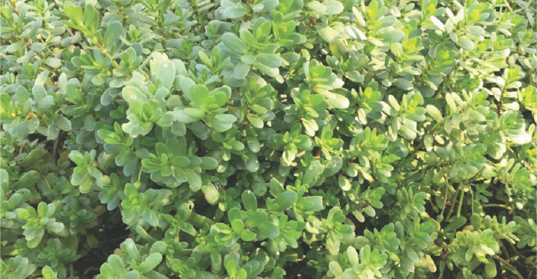 Bacopa.png