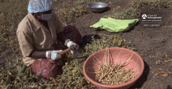 Producing full-spectrum ashwagandha root extract – video
