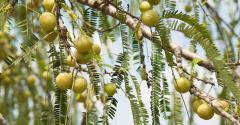 Indian Gooseberry boosts heart health - Arjuna Natural.jpg