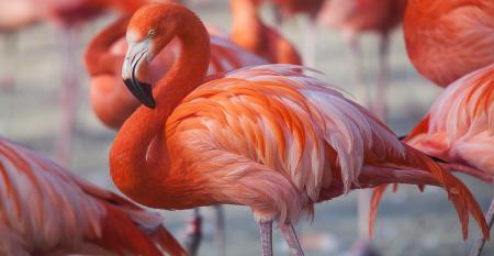 flamingos and astaxanthin